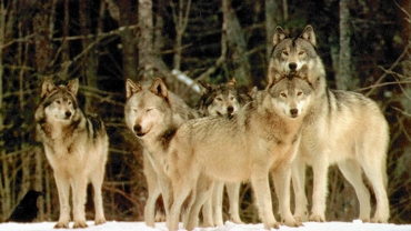 Part of the Pack or Part of the Herd?